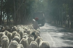 Sheep herd near Indore