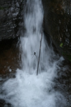 Spider @ the mini waterfall