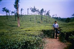 Ashi among tea plantations