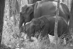 Elephants @ Bandipur