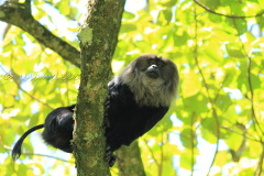 Lion Tailed Macaque at Meghamalai