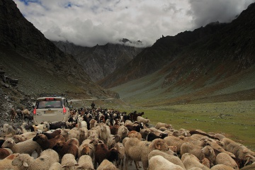 herd of Sheep in NH1D