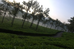 Mist covered tea estates