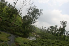 Tea Estates and a Stream