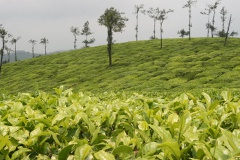 Tea Estates ... again